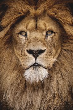 Male lion portrait by Wolf Ademeit