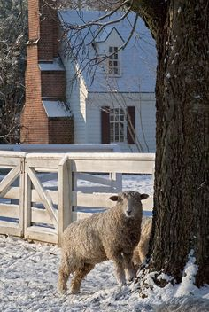Leicester Longwool Sheep in a snow covered pasture.  Colonial Williamsburg's Historic Area,  Photo by David M. Doody