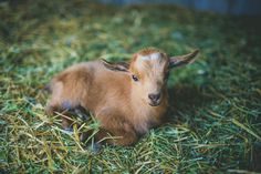 Nigerian dwarf goats :)