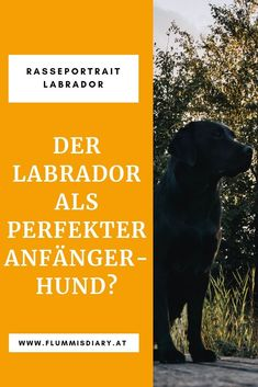 Acquire wonderful ideas on golden labrador. They are actually accessible for you on our website. Golden Retriever Cartoon, Golden Retriever Mix, Labrador Retriever, Retriever Puppies, Golden Retriever Training, Rottweiler Mix, Golden Labrador, Bulldog Breeds, Black Lab Puppies