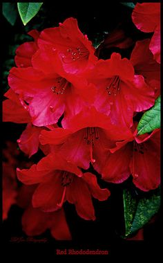Red Rhododendrons - Available in canvas print, framed print, art print, acrylic print, metal print, greeting card, iPhone case and Galaxy case