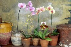 How to Care for a Potted Orchid