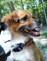 Sherman is an adoptable Pekingese Dog in Manchester, CT. Sherman is a very sweet boy. Sherman is a real lady's man, he wins them over with his charm, and funny personality. Sherman can be fearful of m...