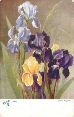 IRIS  two purple, two yellow, two mauve
