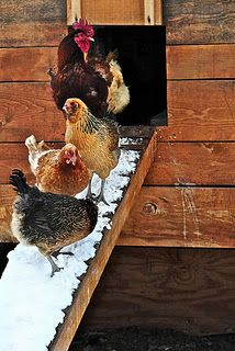 Lovely winter photo.  I don't agree with heating the coop though. Too dangerous.