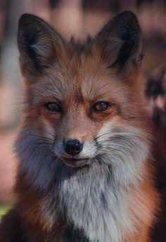 Red Fox by Zach Eisenhauer Nature Animals, Animals And Pets, Wild Animals, Wildlife Photography, Animal Photography, Beautiful Creatures, Animals Beautiful, Fuchs Baby, Wolf Hybrid