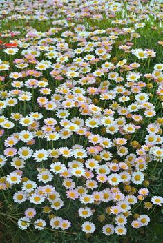 Daisys for Days