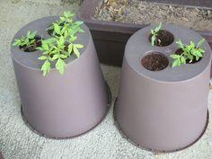 Baş-Aşağı-Sebze-Yetiştirme-5 Growing Plants, Growing Vegetables, Orchids, Mason Jars, Planter Pots, Terrarium Wedding, Top, Green Houses, Vegetable Gardening