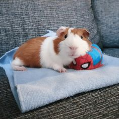 While watching the movie Endgame! Happy Animals, Cute Funny Animals, Animals And Pets, Pet Guinea Pigs, Guinea Pig Care, Pets Movie, Guniea Pig, Baby Pigs, Baby Bunnies