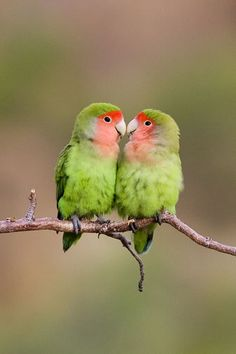 Erongo Wilderness Lodge: Rosy-faced Lovebirds
