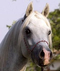 Horse Pedigree Database | Moulay Pasha | Arabian, Egyptian | Association of Breeders of the Arabian Horse (VZAP)