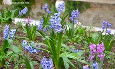 Jacintos violetas y fucsias, florecidos en la primavera