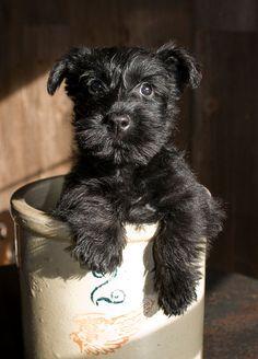 Scottish Terrier Puppy...
