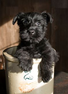 OMG-scottie in an antique crock! Two of my favorite things