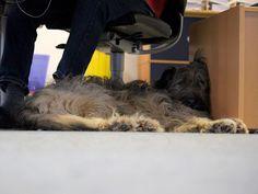 Im Verlag: Lotta hat alles im Blick. Kann das bequem sein? #Hund #Dog #Verlag #Buch #Book #relaxen #entspannt #schlafen #Büro