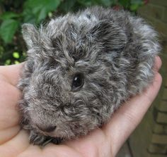 Wow ... what a cute curly guinea pig! :)