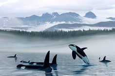 Misty Orca Waters by Wyland - Killer Whales in the Ocean