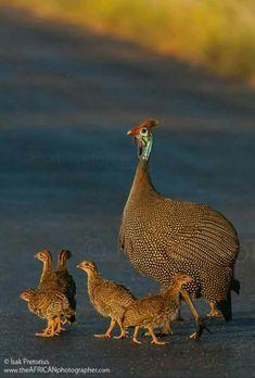 Guinea Fowl hen with chicks, Kruger National Park; Love Birds, Beautiful Birds, Animals Beautiful, Cute Baby Animals, Animals And Pets, Farm Animals, Animal Babies, Pollo Animal, Wildlife Photography
