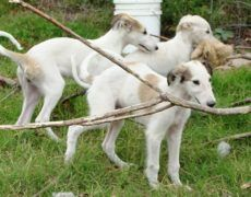 Borzoi Dog Info, Mixes, Temperament, Training, Puppies, Pictures Puppies For Sale, Dogs And Puppies, Borzoi Puppy, Hounds Of Love, Skinny Dog, Russian Wolfhound, Most Beautiful Dogs, Dogs Of The World, Dog Photos