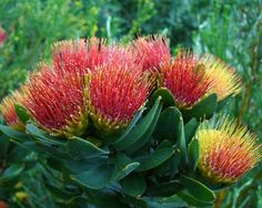 Leucospermum oleifolium: A charming, evergreen spreading shrub with broad, silvery/grey leaves. The flowers of this Pincushion species make this a truly special plant, they open pale yellow, age to orange and eventually turn a brilliant crimson, and the plant bears flowers of each colour at the same time. Makes for a terrific display when planted en-masse - but it's a sensitive little devil and can be tricky to grow unless conditions are just right (which includes low humidity).