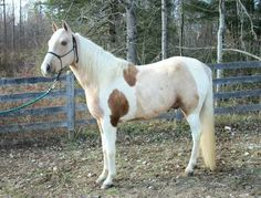 Isn't that called calico tobiano??
