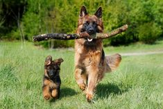 Facts About Dog Agility Training Every Owner Should Know Agility Training For Dogs, Dog Agility, Best Dogs For Families, Family Dogs, German Shepherd Names, German Shepherds, Top 10 Dog Breeds, Dogs With Jobs, Puppy Socialization