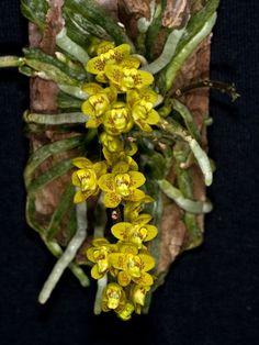 Resultado de imagem para mini orquideas raras