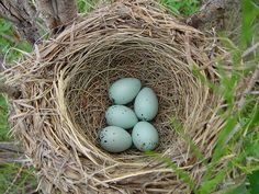 Red-winged Blackbird Nest by ColoRyan, via Flickr