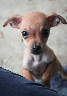 Hearts for Paws Rescue will host its November adoption event from 11:30 a.m. to 1:30 p.m.Saturday, Nov. 11, at Flying Horse Farms, 25703 County Road 95. Thirty-two dogs and puppies — including 8-week-old Chiweenie puppies — will be available for adoption.See the dogs at...  http://www.davisenterprise.com/features/pets-features/rescue-dogs-puppies-up-for-adoption-saturday/  #davisenterprise #Pets