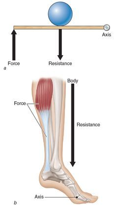 Kinetic Anatomy 3E: Levers work to create movement in the human body