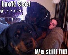 rottweiler lap dog meme