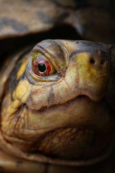 Box turtle (mislabeled as Endangered Terrapene or Terrapin) Pet Turtle, Turtle Love, Cute Turtles, Baby Turtles, Types Of Turtles, Eastern Box Turtle, Animals Beautiful, Cute Animals, Alligators