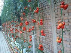 Tomatoes wall