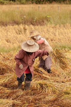 Recogiendo arroz. Tailandia