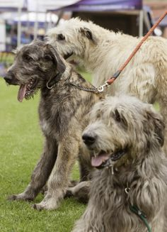 The Irish wolfhound, with its strong sense of smell and hearing, was made famous as a hunter in Ireland. As one of the tallest dog breeds, Irish wolfhounds need a lot space to run around in.