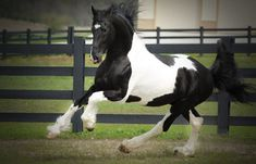 Bizkit Baroque Pinto Stallion what a beautiful horse!!
