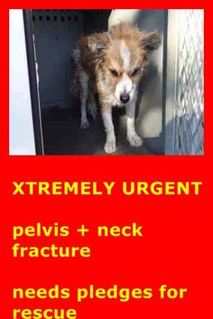 POM WITH NECK AND PELVIS FRACTURE! PLEDGES AND RESCUE NEEDED! A4791709 I don't have a name yet and I'm an approximately 2 year old male pomeranian. I am not yet neutered. I have been at the Downey Animal Care Center since January 14, 2015. I am available on January 18, 2015. You can visit me at my temporary home at D707. https://www.facebook.com/photo.php?fbid=800053103408357&set=pb.100002110236304.-2207520000.1421783827.&type=3&theater