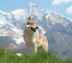 Checkoslovakian wolfdog