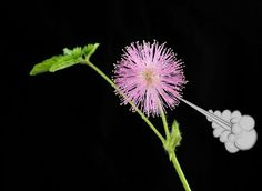 When threatened, the roots of Mimosa pudica plants deploy fart-like stink bombs.