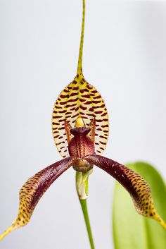 Masdevallia fasciata - Flickr - Photo Sharing!