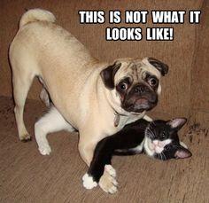 Funny Pug Dog Meme Pun