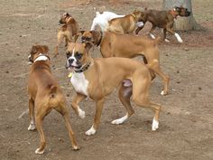 If your dog is truly say that the first Boxer Golf club in the late 1800s.