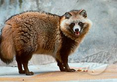 A Japanese Raccoon Dog Stock Photo Unusual Animals, Rare Animals, Animals Beautiful, Strange Animals, Wild Animals, Japanese Raccoon Dog, Dog Stock Photo, Nocturnal Animals, Wild Creatures