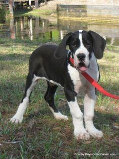 Mantle Great Dane Puppy. Love.