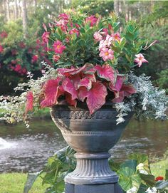 MARTHA MOMENTS: Contented Containers A splash of pink adds charm to this concrete urn. Pink mandevilla mingles with matching bold caladium and a frilly silver licorice plant. Container Flowers, Container Plants, Container Gardening, Plant Containers, Large Containers, Garden Urns, Garden Planters, Potted Garden, Porch Garden
