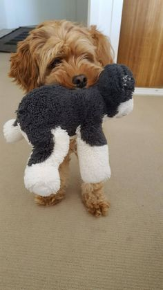 Cortana (toy cavoodle with her favourite toy Cavapoo, Fur Babies, Picture Video, Bunnies, Cute Dogs, Cute Pictures, Wildlife, Toy, Pets