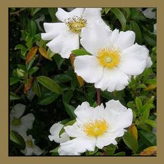 The state flower of Georgia is the Cherokee Rose