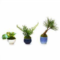 盆栽 bonsai ぐいのみ  松 シノブ サンキライ/ Sakecup   カップボンcupbon  美濃焼 3個セット