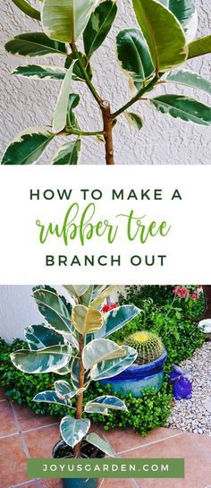 To Make A Rubber Tree Branch Out Has your Ficus elastica gotten too tall or too leggy? Did you know that you can turn it into a tree form? Here's how to make a Rubber Tree (Rubber Plant) branch out.Has your Ficus elastica gotten too tall or too leggy? Rubber Tree Plant, Rubber Tree, Plant Care, House Plant Care, Trees To Plant, Tree Branches, Ficus Elastica, Indoor Tree Plants, Plants