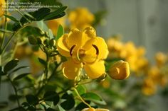PlantFiles Pictures: Senna Species, Argentina Senna, Buttercup Bush, Flowering Senna, Tree Senna (Senna corymbosa) by bikerchick
